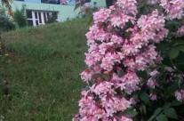Flori de mai Shanti
