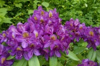 Rhododendron Shanti